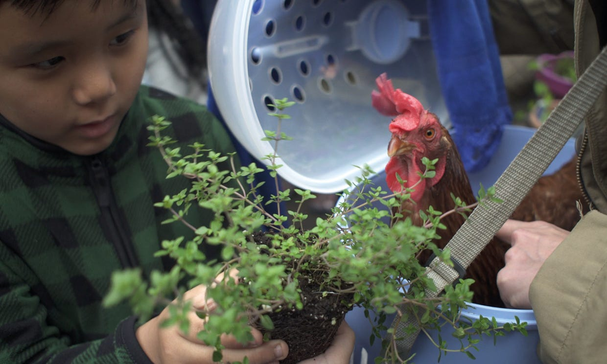 Boy looking at chicken next to plant